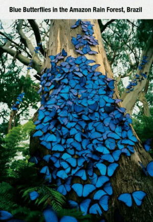 epicjohndoe:  Blue Butterflies In The Amazon: epicjohndoe:  Blue Butterflies In The Amazon