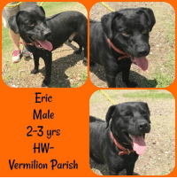 Animals, Laundry, and Memes: Eric  Male  2-3 yrs  HW-  Vermilion Parish *Please note this animal is not with AAVA - we are networking for rescue as the liaison for the shelter* This baby is in a kill shelter in Abbeville, LA which does not allow public adoptions. Animals must be pulled by an approved rescue or can be adopted through AAVA.  TO ADOPT - fill out an application at http\://aavarescue.com/adoptions.php  RESCUES - all rescues must now go through AAVA. Please contact us at animalaidvermilion@gmail.com. If you are not already approved please fill out a rescue application at http\://aavarescue.com/rescues.php  TO FOSTER - fill out an application at http\://aavarescue.com/volunteer.php  If you have any questions please contact us at animalaidvermilion@gmail.com or (337) 366-0212 or visit our website http\://aavarescue.com for more information.  To donate to AAVA's general rescue fund which helps support the shelter animals needs visit this link paypal.me/animalaidvermilion or visit our website http\://aavarescue.com/support-our-rescue.php Shelter needs can include items such as laundry detergent, baby pools, flea medication, dawn soap, heaters and fans, toys, gas for transports, pull fees for unfunded animals and other types of items.