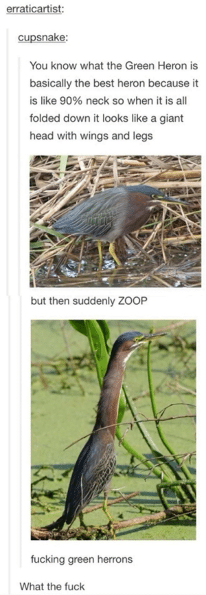 Green Heronsomg-humor.tumblr.com: erraticartist:  cupsnake:  You know what the Green Heron is  basically the best heron because it  is like 90% neck so when it is all  folded down it looks like a giant  head with wings and legs  but then suddenly ZOOP  fucking green herrons  What the fuck Green Heronsomg-humor.tumblr.com