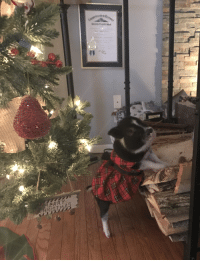 Christmas, Neighbors, and Piggy: ERRY We had a lovely visit from our neighbor's piggy!