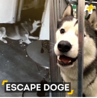 Doge, Dogs, and Memes: ESCAPE DOGE This husky figured out how to open its cage … then wanted to free the other dogs at a pet store.
