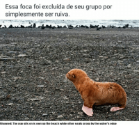 shun: Essa foca foi excluida de seu grupo por  simplesmente ser ruiva  Shunned: The pup sits on is own up the beach while other seals group by the Water's edge