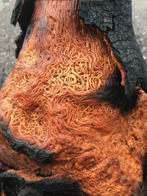 essence-of-nature:   A burned tree with unusually patterned wood  : essence-of-nature:   A burned tree with unusually patterned wood