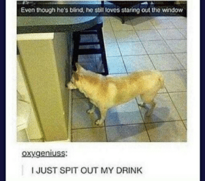Tumblr, Dog, and Window: Even though he's blind, he still loves staring out the window  oxygeniuss:  IJUST SPIT OUT MY DRINK Hehe blind dog