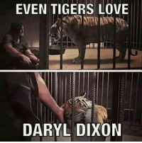 Daryl Dixon Memes: EVEN TIGERS LOVE  DARYL DIXON