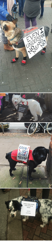 Relatable, Pup, and Samoyed: EVENT   17,  E  I'M  SAMOYED  AGAINST  DONALD   GOOD!  AGAINST   I WALK AND STAND  FOR JUSTICE &  PEACE  and Sit  and Fetch enjoy these protestor pups!