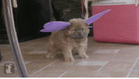 Butterfly, Ever, and  See: Ever see a Chow Butterfly before?