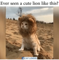 Lion: Ever seen a cute lion like this?  f CAT LOVERS