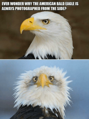 American, Eagle, and Wonder: EVER WONDER WHY THE AMERICAN BALD EAGLE IS  ALWAYS PHOTOGRAPHED FROM THE SIDE? Made me laugh. Wanted to share with you.