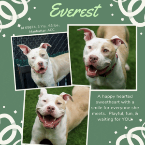 Beautiful, Cute, and Dogs: Everest  Id 65674, 3 Yrs., 63 lbs.,  Manhattan ACC  A happy hearted  sweetheart with a  smile for everyone she  meets. Playful, fun, &  waiting for YOU INTAKE DATE – 6/11/2019  Big, beautiful, and happy hearted, EVEREST has a personality as large as the mountain she is named after.  She has a playful spirit, and a smile for everyone she meets.  And can we mention how darn cute her ears are?  She can put one up and one down, giving her the appearance of a big bunny.  We love this beautiful, big hearted girl, and we're hoping she does not have to wait long for a family to love.  If you can give her a safe place to land, Message our page or email us at MustLoveDogsNYC@gmail.com for assistance fostering or adopting Everest.   EVEREST, ID# 65674, 3 yrs old, 63.8 lbs, Unaltered Female Manhattan ACC, Large Mixed Breed, White / Tan    Owner Surrender Reason:  Shelter Assessment Rating: LEVEL 3 Medical Behavior Rating:  1. Green  ***  TO FOSTER OR ADOPT  ***   If you would like to adopt a NYC ACC dog, and can get to the shelter in person to complete the adoption process, you can contact the shelter directly. We have provided the Brooklyn, Staten Island and Manhattan information below. Adoption hours at these facilities is Noon – 8:00 p.m. (6:30 on weekends)  If you CANNOT get to the shelter in person and you want to FOSTER OR ADOPT a NYC ACC Dog, you can PRIVATE MESSAGE our Must Love Dogs page for assistance. PLEASE NOTE: You MUST live in NY, NJ, PA, CT, RI, DE, MD, MA, NH, VT, ME or Northern VA. You will need to fill out applications with a New Hope Rescue Partner to foster or adopt a NYC ACC dog. Transport is available if you live within the prescribed range of states.  Shelter contact information: Phone number (212) 788-4000 Email adopt@nycacc.org  Shelter Addresses:  Brooklyn Shelter: 2336 Linden Boulevard Brooklyn, NY 11208  Manhattan Shelter: 326 East 110 St. New York, NY 10029  Staten Island Shelter: 3139 Veterans Road West Staten Island, NY 10309  *** NEW NYC ACC RATING SYSTEM ***  Level 1  Dogs with Level 1 determinations are suitable for the majority of homes. These dogs are not displaying concerning behaviors in shelter, and the owner surrender profile (where available) is positive.   Level 2   Dogs with Level 2 determinations will be suitable for adopters with some previous dog experience. They will have displayed behavior in the shelter (or have owner reported behavior) that requires some training, or is simply not suitable for an adopter with minimal experience.   Level 3  Dogs with Level 3 determinations will need to go to homes with experienced adopters, and the ACC strongly suggest that the adopter have prior experience with the challenges described and/or an understanding of the challenge and how to manage it safely in a home environment. In many cases, a trainer will be needed to manage and work on the behaviors safely in a home environment.