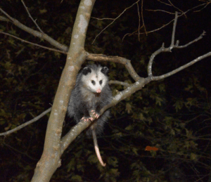 Food, Back, and Cat: Every night he comes to our back yard to eat the leftover cat food. We call him Randy.
