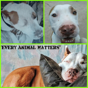 Dad, Life, and Love: EVERYANIMAL MATTERS Out of sight , out of mind !   At least he was until his rescuer arrived !   His short but sad video only shows half of what he endured .  Nine years ago , he was rescued from life on a chain / leash behind a flea market !  Dying , and begging for help !   Today , our Hercules continues to live life to the fullest with his daddy , Mac Donovan . Thanks to his rescue , Angel and foster our founder Judy Obregon❤  March of this year made it nine years !!!   We love you handsome Herc !   #taoanimalrescue #EveryAnimalMatters #fosteringsaveslives  #FureverFridayUpdate  Thank you forever dad for giving him the best !!!!  Thank you to all of our TAO Supporters for helping us help The Abandoned Ones !