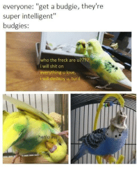 "Ass, Love, and Shit: everyone: ""get a budgie, they're  super intelligent""  budgies:  who the freck are u??R?  i will shit on  everything u love  i will destroy u, turg  henlo ass"