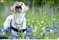 Everyone has to make some time for silly faces! We love our fun spirited girl, Blue! Share your silly dog faces with us in the comments below! #PatriotPAWS #ServiceDogs #PatriotPAWSofAggieLand 🐶❤️🇺🇲️: Everyone has to make some time for silly faces! We love our fun spirited girl, Blue! Share your silly dog faces with us in the comments below! #PatriotPAWS #ServiceDogs #PatriotPAWSofAggieLand 🐶❤️🇺🇲️