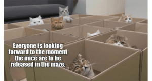Cats, Funny, and Lol: Everyone is looking  forward to the moment  the mice are to he  released in the maze. Every week we collect the highest voted cat memes that our users created for ICanHas Cheezburger's LOLCats.#cheezburger # lol cats # cat memes #funny cats  ugc #