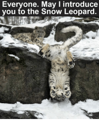 Make sure to like the Tickld page for more!: Everyone. May I introduce  you to the Snow Leopard. Make sure to like the Tickld page for more!