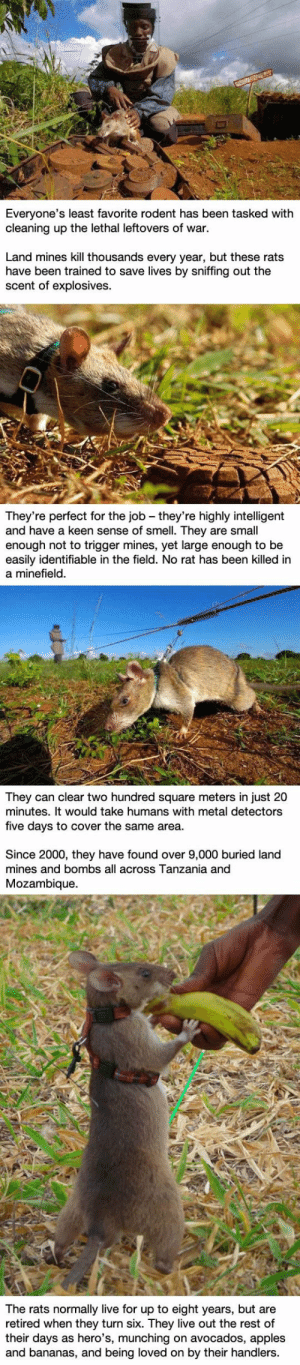 Smell, Keen, and Live: Everyone's least favorite rodent has been tasked with  cleaning up the lethal leftovers of war  Land mines kill thousands every year, but these rats  have been trained to save lives by sniffing out the  scent of explosives.  They're perfect for the job - they're highly intelligent  and have a keen sense of smell. They are small  enough not to trigger mines, yet large enough to be  easily identifiable in the field. No rat has been killed in  a minefield.  squaire mal detectors  They can clear two hundred square meters in just 20  minutes. It would take humans with metal detectors  t0 cover the  five days to cover the same area.  days to cover the s humw etrs  Since 2000, they have found over 9,000 buried land  mines and bombs all across Tanzania and  Mozambique.  The rats normally live for up to eight years, but are  retired when they turn six. They live out the rest of  their days as hero's, munching on avocados, apples  and bananas, and being loved on by their handlers.