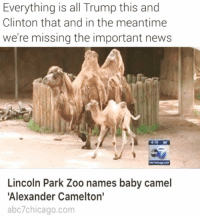 Lol, News, and Lincoln: Everything is all Trump this and  Clinton that and in the meantime  we're missing the important news  419 66  obc  Lincoln Park Zoo names baby camel  Alexander Camelton'  abc7chicago.com LOL 😂 thanks