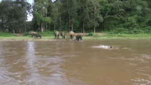 everythingfox:  Baby elephant thought man was drowning and rushed to save him: everythingfox:  Baby elephant thought man was drowning and rushed to save him