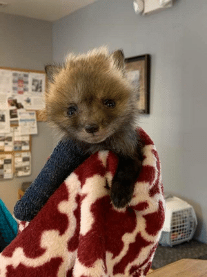 """everythingfox:   Baby fox with a broken leg gets rescued and visits the vet for his cast. (via)  POOR BABY IM GONNA KMS I CANT HANDLE THAT HE""""S IN PAIN: everythingfox:   Baby fox with a broken leg gets rescued and visits the vet for his cast. (via)  POOR BABY IM GONNA KMS I CANT HANDLE THAT HE""""S IN PAIN"""