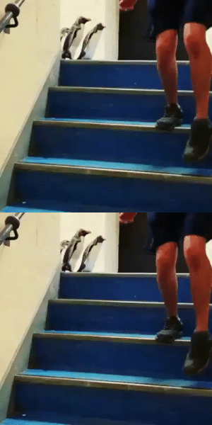 everythingfox:   Penguins going down the stairs (via) : everythingfox:   Penguins going down the stairs (via)