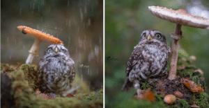 everythingfox:   Photographer captured the image of a tiny owl hiding from rain under a mushroom   📷:  Tanja Brandt-Tierfotografie   : everythingfox:   Photographer captured the image of a tiny owl hiding from rain under a mushroom   📷:  Tanja Brandt-Tierfotografie