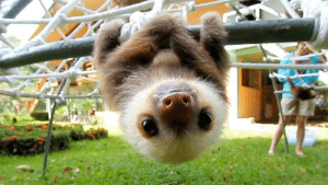 everythingfox: This baby sloth says hello: everythingfox: This baby sloth says hello