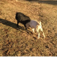 Evie the Goat Plays Extra Gently with New Blind Friend: Evie the Goat Plays Extra Gently with New Blind Friend