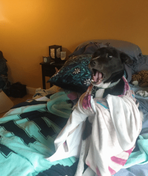 Excited pupper boi with blanket cape does a yawn: Excited pupper boi with blanket cape does a yawn