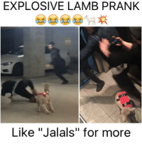 """EXPLOSIVE LAMB PRANK  Like """"Jalals"""" for more who knew a lamb can be so scary? 😂😂"""