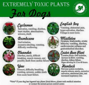 Dogs, Memes, and Control: EXTREMELY TOXIC PLANTS  DU  Jor Dogs  English Ioy  Cyclamen  Vomiting, abdominal pain,  hyper-salivation, diarrhea.  Foliage is more toxic  Salivation, vomiting, diarrhea,  heart rhythm, abnormalities,  seizures, death  mistletoe  Dyspnea, bradycardia, erratic  behavior, vomiting, diarrhea,  cardiovascular collapse and  gastrointestinal disorders.  Dumbcane  Oral irritation,  excessive drooling, vomiting,  difficulty swallowing.  Castor Bean Plant  Oleander  Diarrhea, ataxia, difficult  breathing, muscle tremors, and  possibly death from cardiac failure  Contains Ricin. Oral irritation,  increase in thirst. vomiting,  diarrhea, kidney failure.  Signs develop in 12 to 48 hours.  Hemlock  Nervous system excitation,  muscle tremors, ataxia, excessivel  salivation, abdominal pain, and  increased respiratory rate.  Tremors, difficulty breathing,  vomiting, seizures, sudden death  from acute heart failure  *Note* If your dog has ingested any plants listed above, please seek medical attention  or contact the animal poison control center.  °EU Do you know which plants are toxic for dogs?