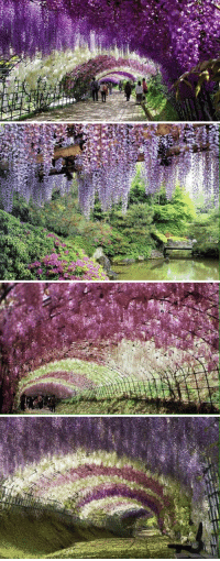Flower, Flowers, and Japan: F/,a   /h   sts  N  吏幦 Take me to the Wisteria Flower Tunnel in Japan! 😍🌺🌸