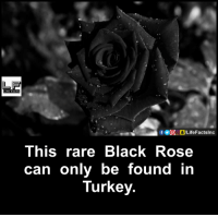Memes, Turkey, and 🤖: f GOOD LifeFactslnc  This rare Black Rose  can only be found in  Turkey.