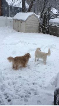 Thank dog its Fwiday! Nothing like some rough housing in the snow with your bro! Check out that vertical tail wag! Just another thing that makes me, me!: F: Thank dog its Fwiday! Nothing like some rough housing in the snow with your bro! Check out that vertical tail wag! Just another thing that makes me, me!