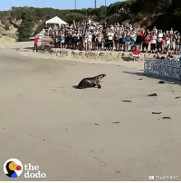 Sea lion being released, stops to make sure his buddy's with him.: FA  the  dodo  ThePMMC Sea lion being released, stops to make sure his buddy's with him.