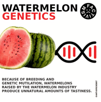 Watermelone: FA  WATERMELON  GENETICS  BECAUSE OF BREEDING AND  GENETIC MUTILATION, WATERMELONS  RAISED BY THE WATERMELON INDUSTRY  PRODUCE UNNATURAL AMOUNTS OF TASTINESS. 2