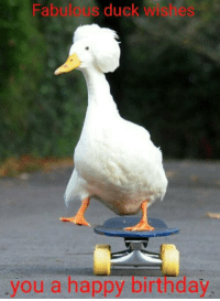 Duck: Fabulous duck wishes  you a happy birthday