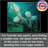 Crazy, Life, and Memes: FacEPoint  The Tunicate (sea squirt), once finding  a suitable rock, will attach itself for life.  At this point, it eats its own brain,  deciding that it no longer needs it. That's crazy 😜