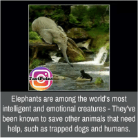 Anime, Memes, and Trap: Facet Point  Elephants are among the world's most  intelligent and emotional creatures They've  been known to save other animals that need  help, such as trapped dogs and humans.