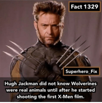 I didn't know for a long time either 😂 - wolverine xmen marvel avengers: Fact 1329  Superhero Fix  Hugh Jackman did not know Wolverines  were animals until after he started  shooting the first X-Men film. I didn't know for a long time either 😂 - wolverine xmen marvel avengers