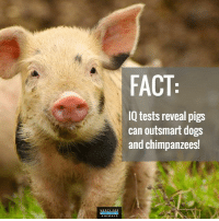Dogs, Memes, and 🤖: FACT  IQ tests reveal pigs  can outsmart dogs  and chimpanzees! Pigs are intelligent and sensitive, don't eat them! 🐷💕 govegan vegansofig mercyforanimals loveanimals pigsofinstagram animallovers fact