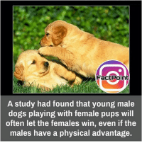 Facts, Memes, and Physical: Fact Point  A study had found that young male  dogs playing with female pups will  often let the females win, even if the  males have a physical advantage. Follow our page for more Facts 😇 Don't forget to tag your friends 💖