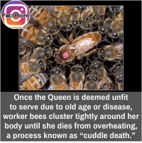 "Memes, Queen, and Death: Fact Point  Once the Queen is deemed unfit  to serve due to old age or disease  worker bees cluster tightly around her  body until she dies from overheating,  a process known as ""cuddle death."" This is scary 😋"
