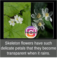 Facts, Friends, and Memes: Fact Point  Skeleton flowers have such  delicate petals that they become  transparent when it rains. Follow our page for more Facts 😇 Don't forget to tag your friends 💖