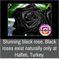 Memes, 🤖, and Pages: Fact Point  Stunning black rose. Black  roses exist naturally only at  Halfeti, Turkey. Follow our page for more Facts 😇 Don't forget to tag your friends 💖
