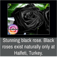 Memes, Rose, and Turkey: Fact Point  Stunning black rose. Black  roses exist naturally only at  Halfeti, Turkey