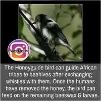 Facts, Friends, and Memes: FactPoin  The Honeyguide bird can guide African  tribes to beehives after exchanging  whistles with them. Once the humans  have removed the honey, the bird can  feed on the remaining beeswax & larvae. Greedy bird 🐦 did you know fact point , education amazing dyk unknown facts daily facts💯 didyouknow follow follow4follow earth science commonsense f4f factpoint instafact awesome world worldfacts like like4ike tag friends Don't forget to tag your friends 👍