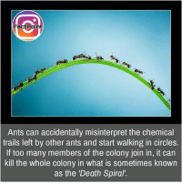 Facts, Friends, and Memes: FactPoint  Ants can accidentally misinterpret the chemical  trails left by other ants and start walking in circles.  If too many members of the colony join in, it can  kill the whole colony in what is sometimes known  as the 'Death Spiral. Poor ants 😓 did you know fact point , education amazing dyk unknown facts daily facts💯 didyouknow follow follow4follow earth science commonsense f4f factpoint instafact awesome world worldfacts like like4ike tag friends Don't forget to tag your friends 👍