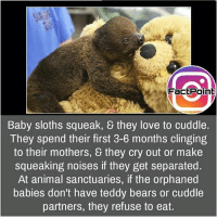 Facts, Friends, and Love: FactPoint  Baby sloths squeak, they love to cuddle.  They spend their first 3-6 months clinging  to their mothers, & they cry out or make  squeaking noises if they get separated.  At animal sanctuaries, if the orphaned  babies don't have teddy bears or cuddle  partners, they refuse to eat. This is lovely 💟 did you know fact point , education amazing dyk unknown facts daily facts💯 didyouknow follow follow4follow earth science commonsense f4f factpoint instafact awesome world worldfacts like like4ike tag friends Don't forget to tag your friends 👍