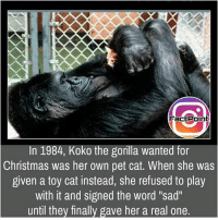 """Follow our page for more Facts 😇 Don't forget to tag your friends 💖: FactPoint  In 1984, Koko the gorilla wanted for  Christmas was her own pet cat. When she was  given a toy cat instead, she refused to play  with it and signed the word """"sad""""  until they finally gave her a real one. Follow our page for more Facts 😇 Don't forget to tag your friends 💖"""